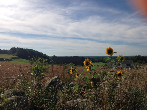 NH sunflowers